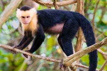 Kapuziner-Affe im Regenwald - ©EDUARDO M. RIVERO - Adobe Stock