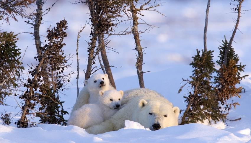 Studienreise Ost-Kanada - Eisbären hautnah erleben :: Saison 2018 ...