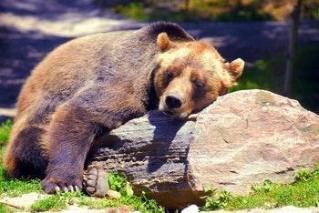 Grizzly Bär in Kanada - ©Zoran Karapancev - Fotolia