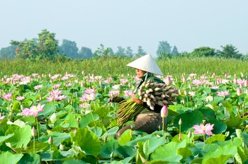 Lotos Ernte im Mekong-Delta - Vietnam - ©danhvc - Fotolia