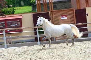 Wien_Hofreitschule_Lippizzaner-Pferd - ©Martin - Fotolia