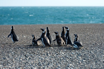 Pinguine auf Punta Tombo - ©©Andrea Izzotti - stock.adobe.com