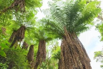 Riesenbaumfarne, Amboro-Nationalpark, Bolivien - ©dmitriy_rnd - Adobe Stock