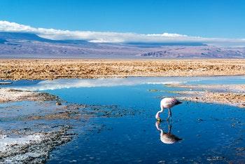 Flamingo im Salzsee, Chile - ©jkraft5 - Adobe Stock