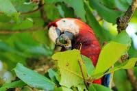 Papagei im Corcovado Nationalpark - ©©andamanse - stock.adobe.com