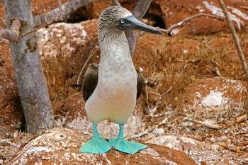 Blaufußtölpel, Galapagos-Inseln, Ecuador - ©picattos - Adobe Stock