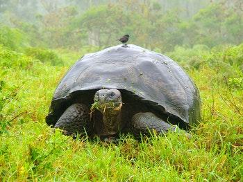 Galapagos Riesenschildkröte - ©Marcel Hurni - Adobe Stock