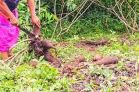 Frau der Siona schneidet eine Maniok-Wurzel - ©kalypso0 - Adobe Stock