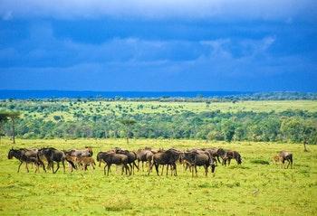 Gnus in der Serengeti - ©oriwo - stock.adobe.com