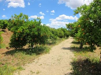 auf der Zitrusplantage Juanito Orange - ©Sylvia Ott