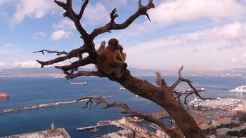 Gibraltar - Affen - ©Francisco Javier Burgos Gutierrez