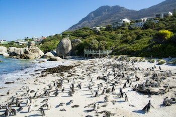 Pinguine am Boulders Beach - ©worldroadtrip - stock.adobe.com