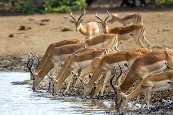Impalas im Krüger-Nationalpark - ©UTOPIA - stock.adobe.com