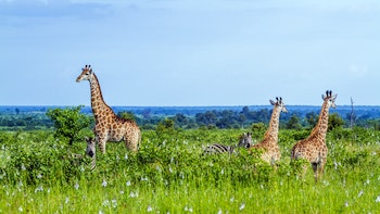 Giraffen im Krüger-Nationalpark - ©UTOPIA - stock.adobe.com
