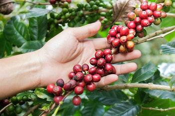 Reife Kaffeekirschen - ©ptyphoto - Adobe Stock