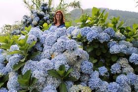 Azoren - Hortensienbluete